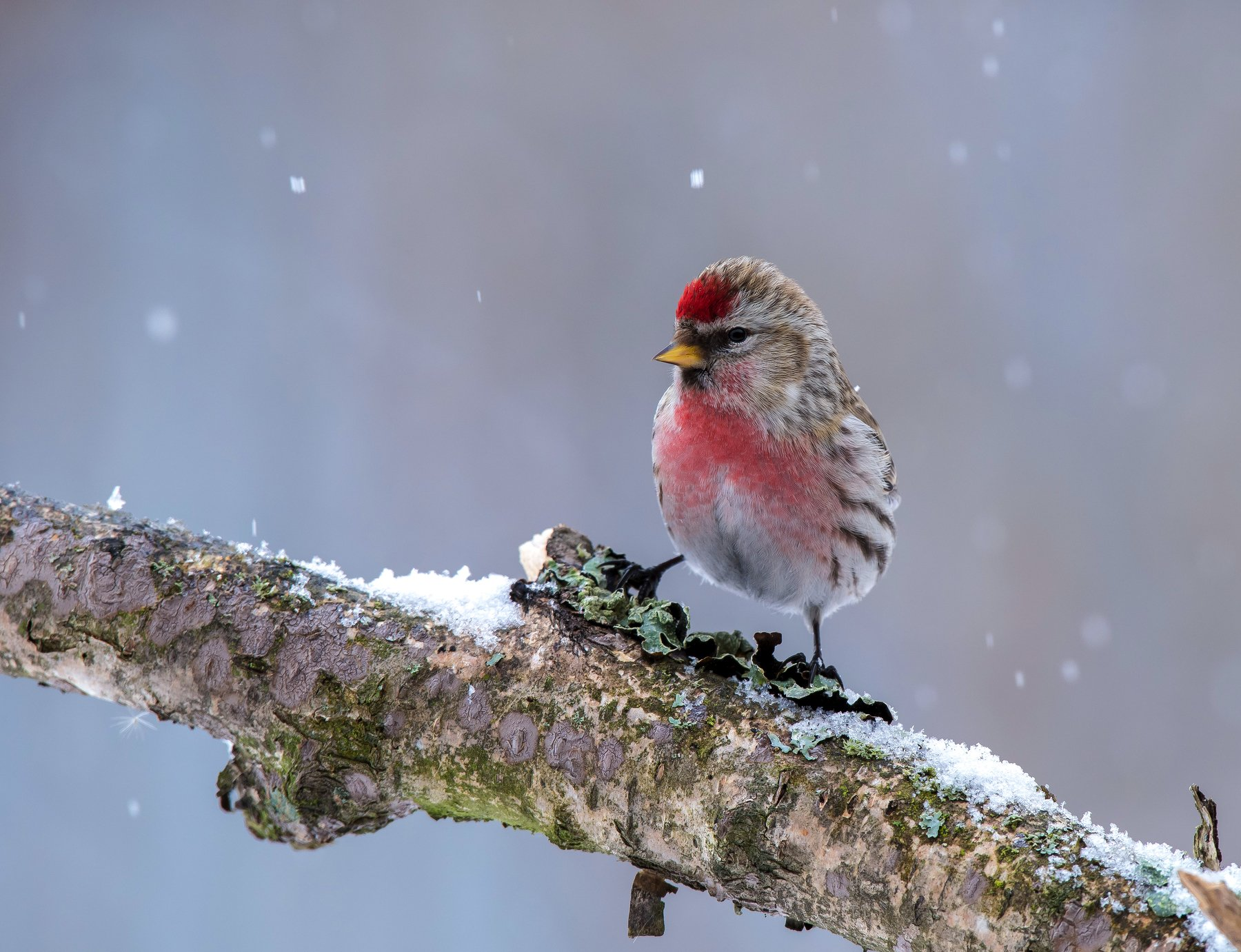 птицы,природа,зима,, Киселёв Андрей