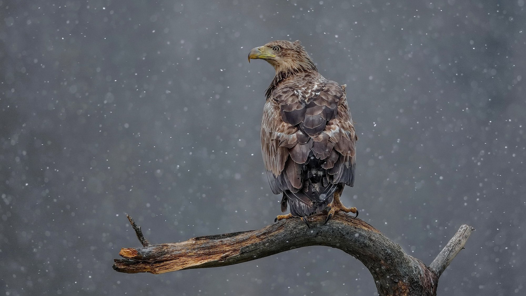 орлан белохвост haliaeetus albicilla white-tailed eagle, Eugenijus Kavaliauskas