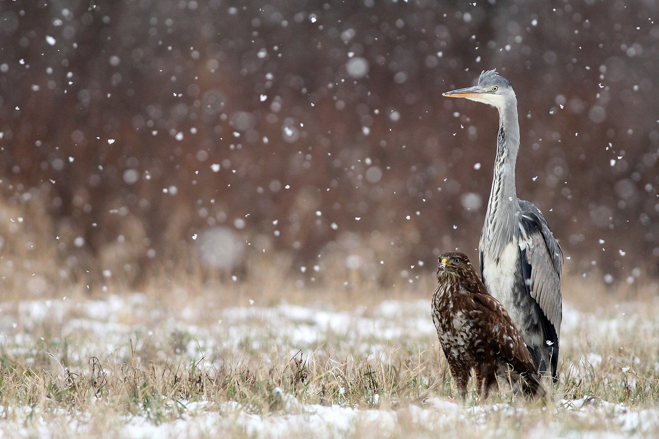 birds, wildlife, animals, grey heron, common buzzard,, Adam Fichna