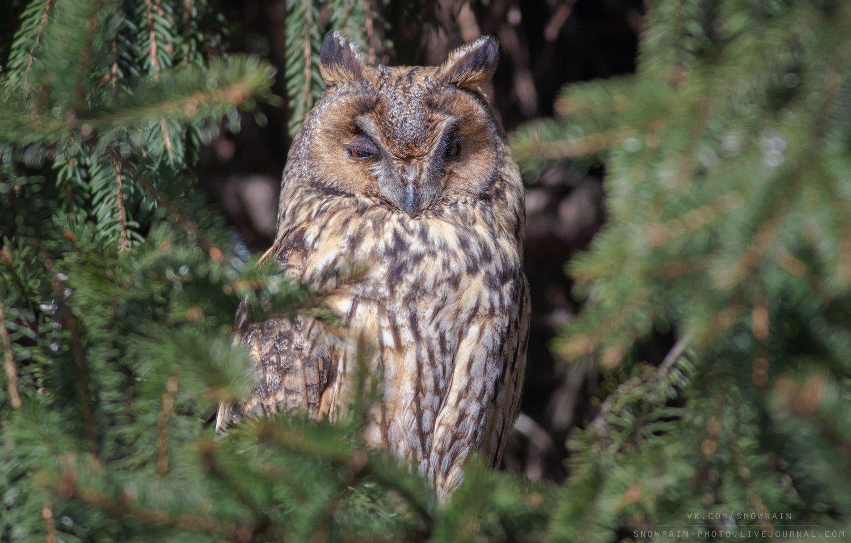 owl, wildlife, wildlife photography, анималистика, сова, ушастая сова, фотоохота, birds, nature, Snowrain