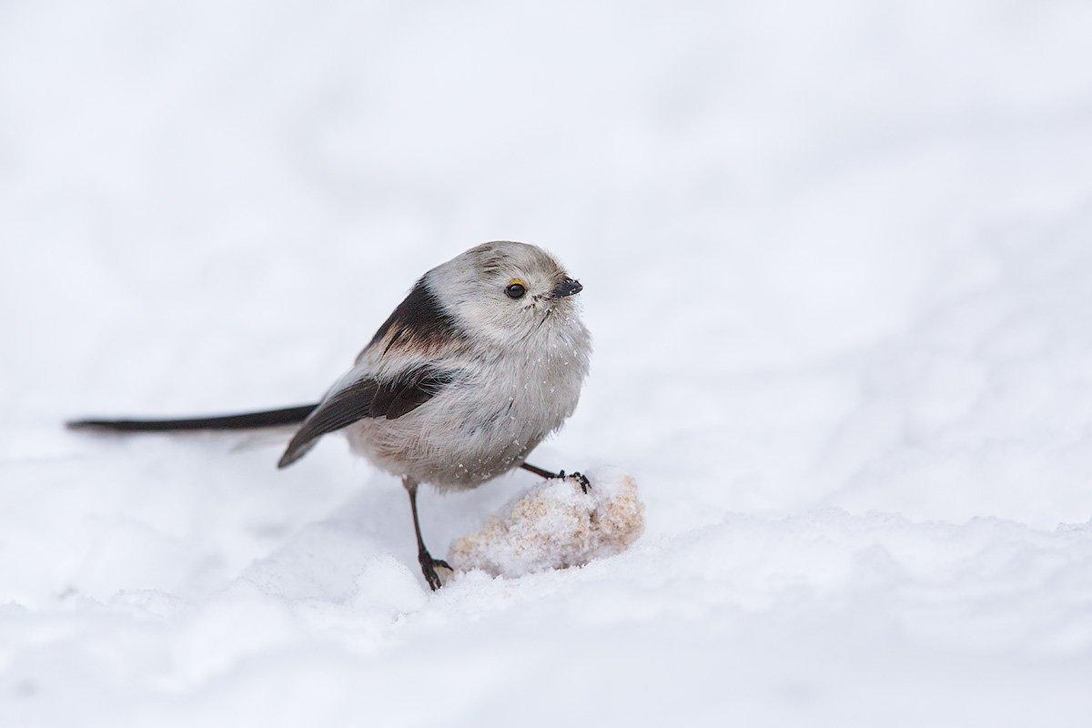 long-tailed tit, tit, bird, wildlife, ополовник, длиннохвостая синица. синица, птицы, дикая природа, Голубев Дмитрий