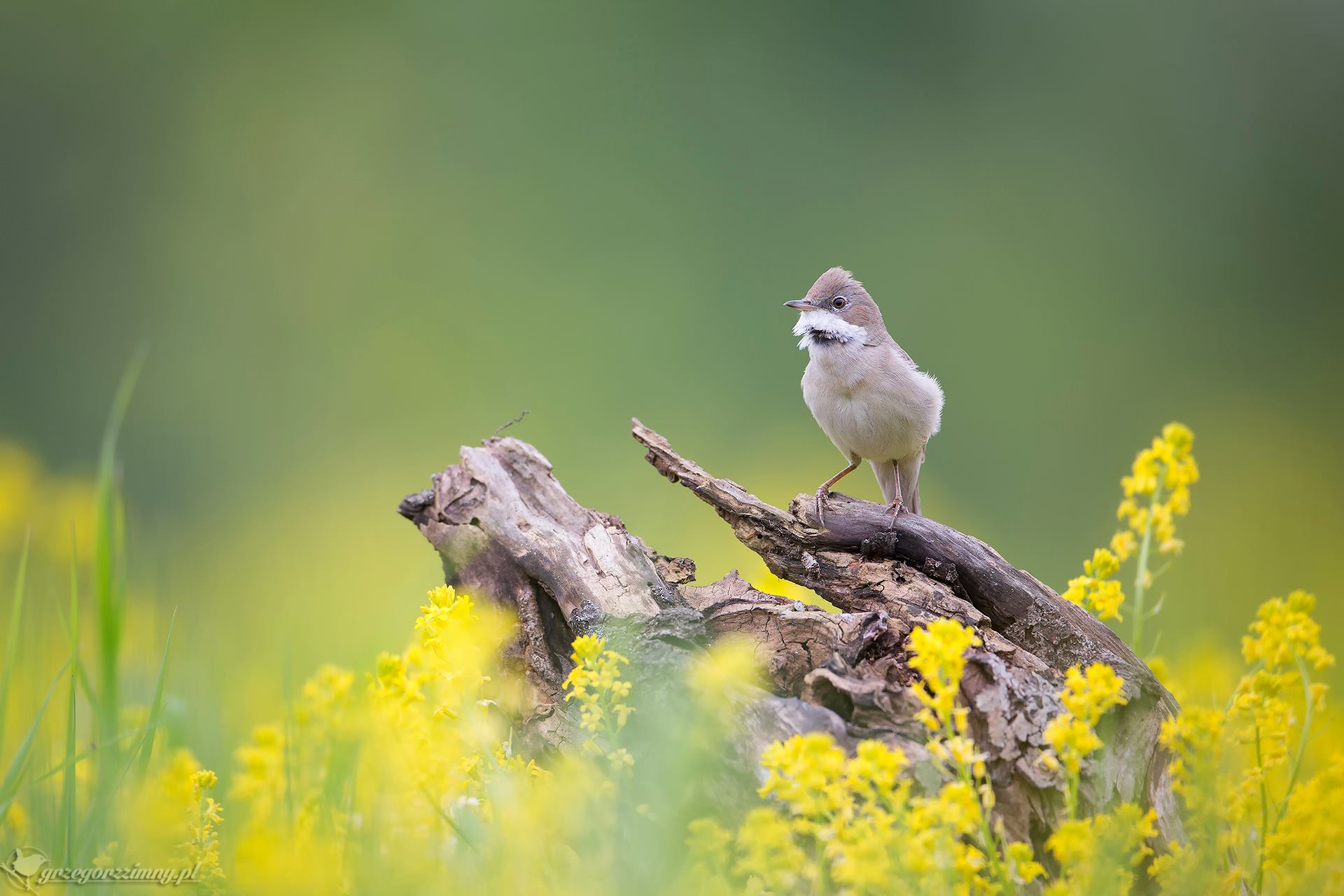common whitethroat, Grzegorz Zimny
