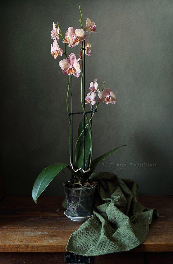цветок, орхидея, Елена Татульян