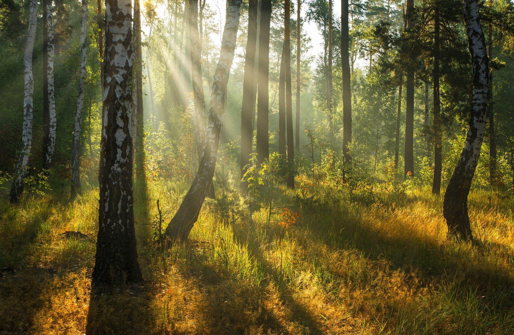 landscape, пейзаж, утро, лес, сосны, березы, деревья, солнечный свет, солнечные лучи, солнце, природа,, Михаил MSH
