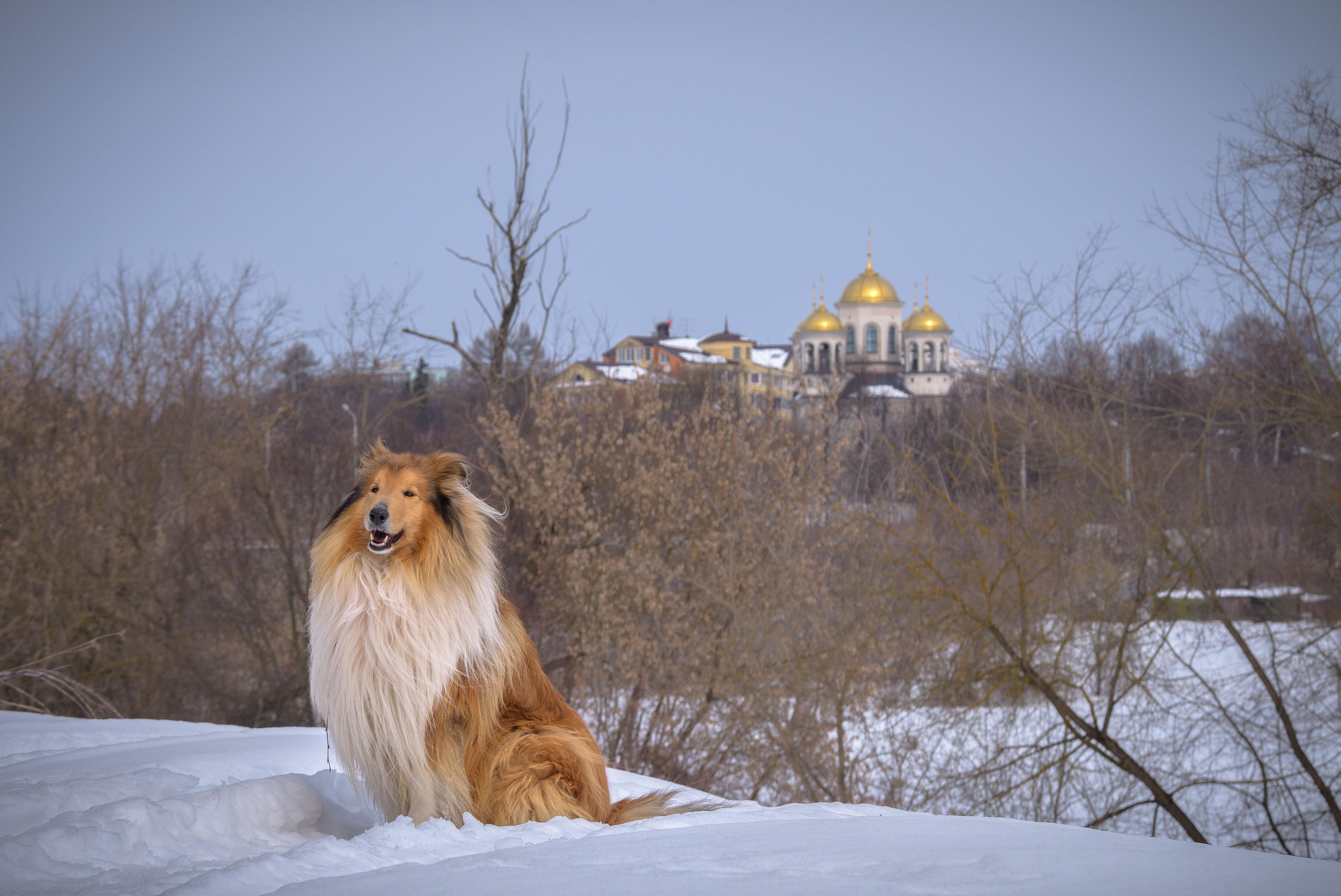 колли, звенигород, храм, купола, весенний пейзаж, март 2018, снег, москва река, Соварцева Ксения