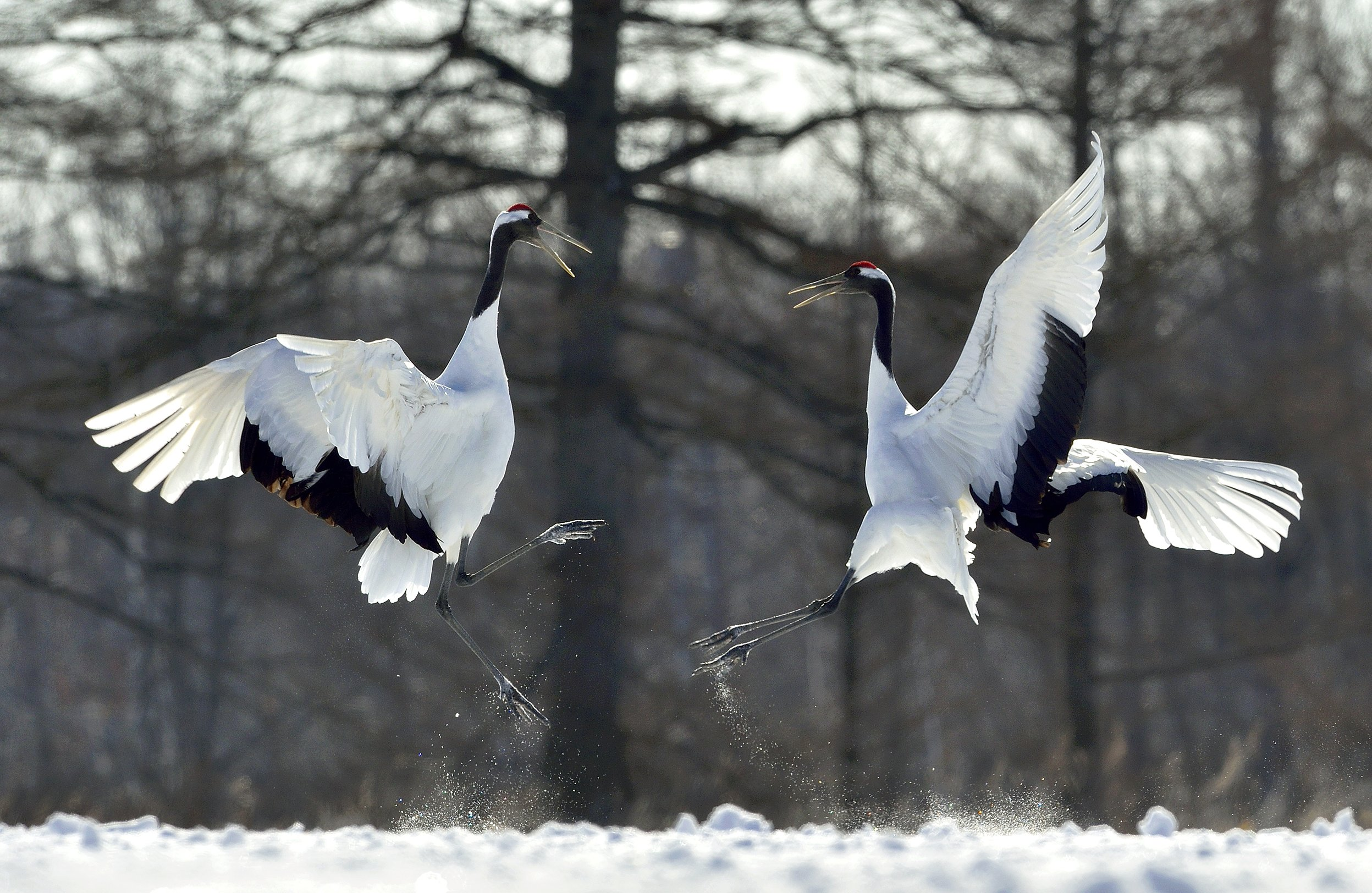 japanese crane, winter, manchurian crane,red-crowned crane,grus japonensis,bird, nature, animal, Сергей Урядников