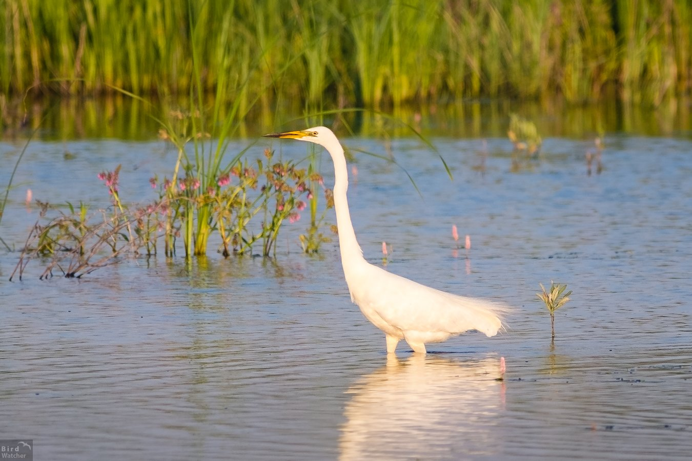 Ardea alba, bird, birds, nature, болото, лето, природа, птицы, белая цапля, birdwatcher, Great egret, Bird Watcher