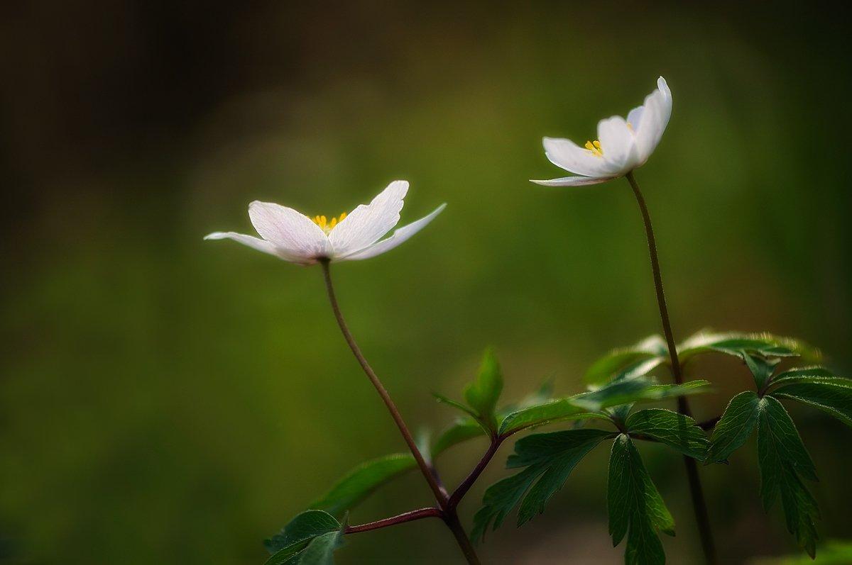 макро,лес,анемоны,ветреницы,весна, Наталия К