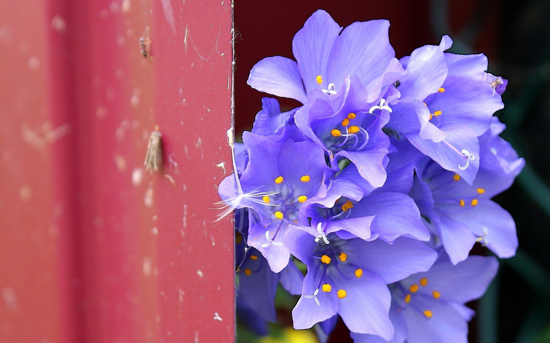 цветы, синий, колокольчики, Влада Андрюнина