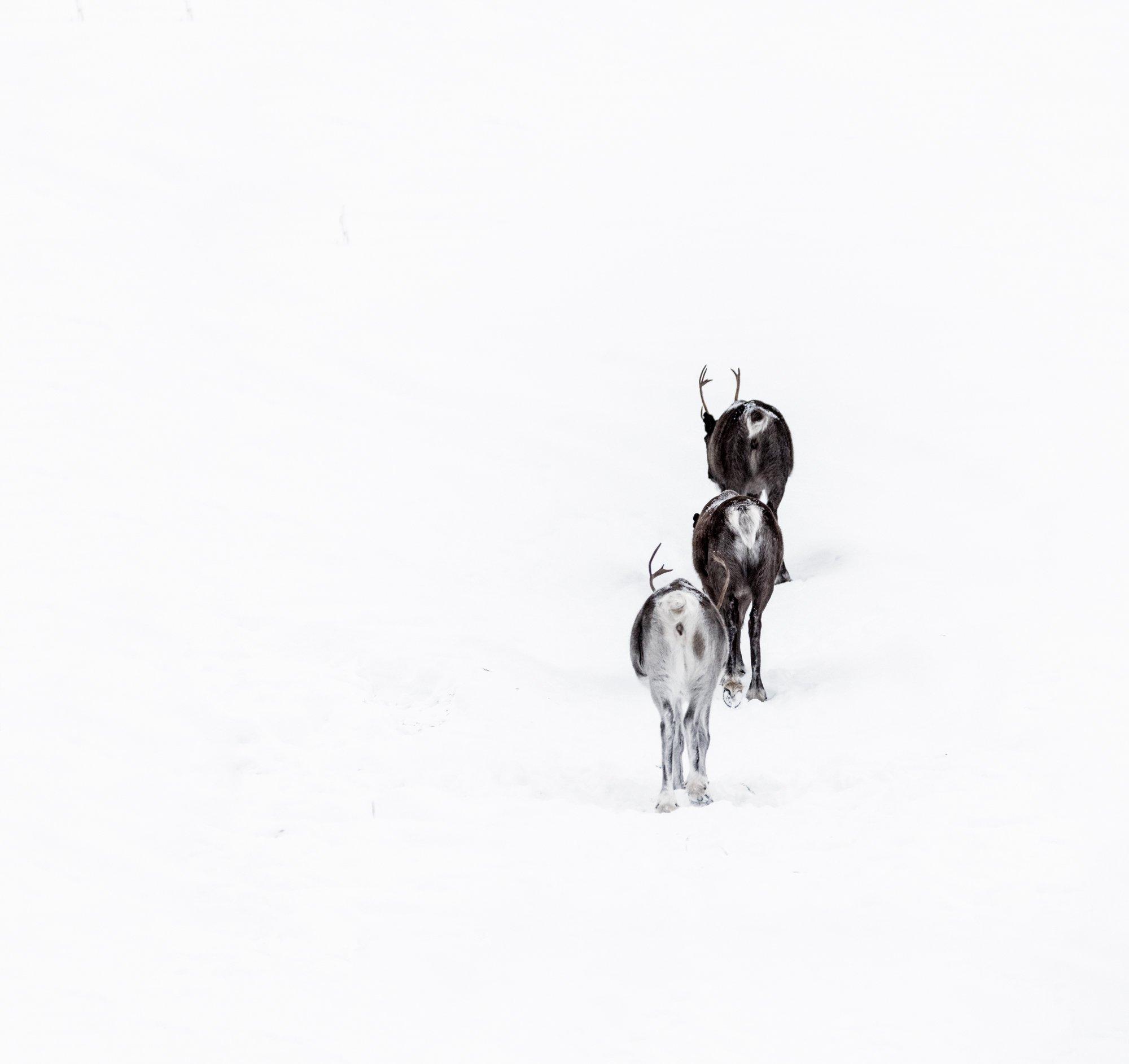 animals, reindeers, sweden, winter, wild life, Sylwia Grabinska
