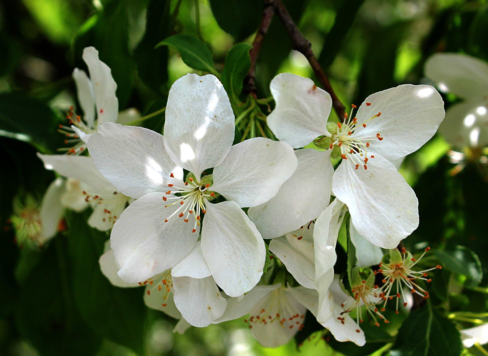 цветы, весна, яблоня, Влада Андрюнина