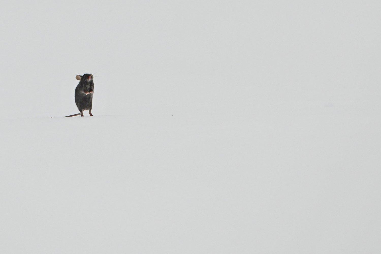 мышь, Александр Маркелов