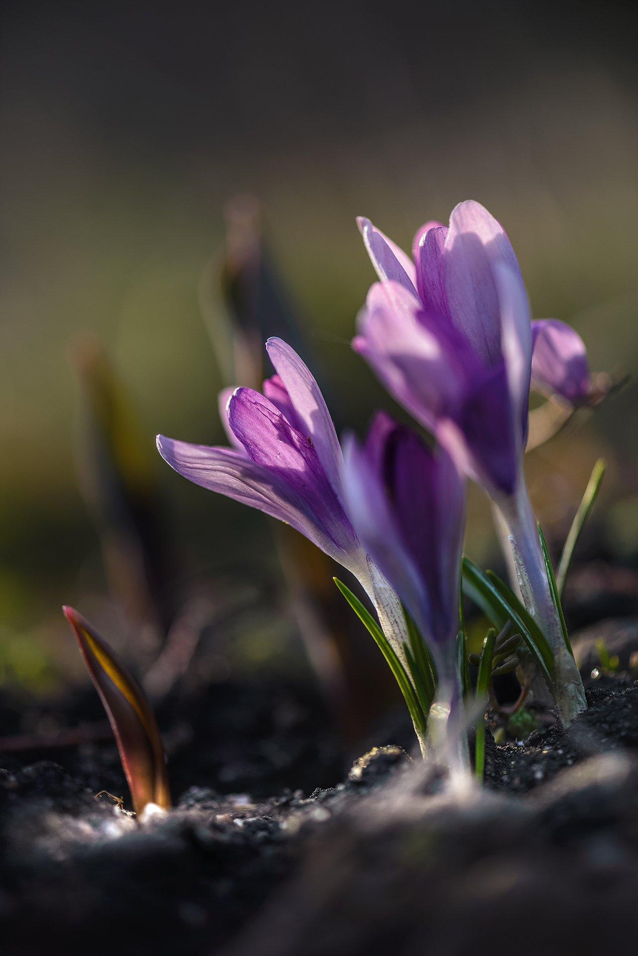 природа, макро, весна, цветы, крокус,, Неля Рачкова