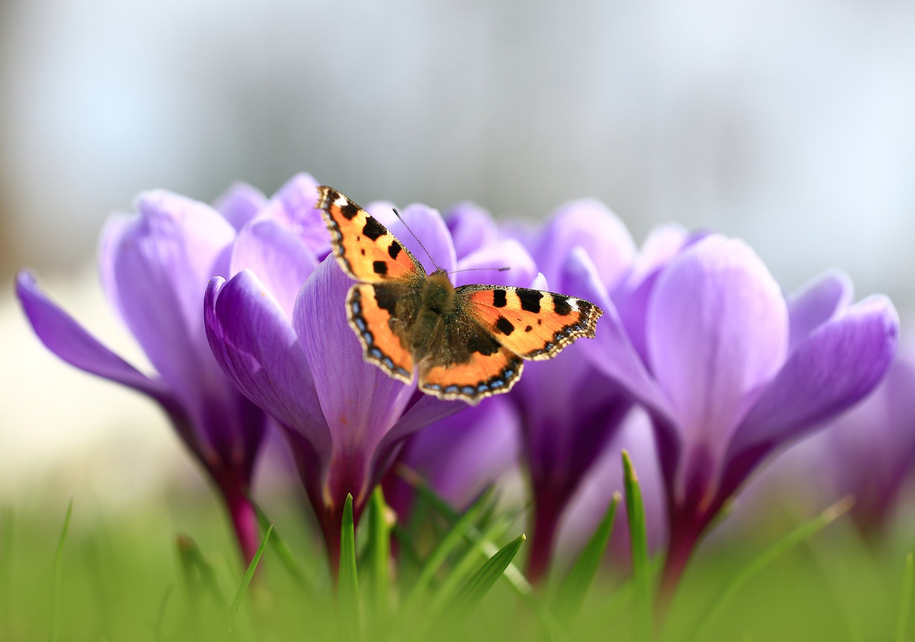 Весна,цветы,бабочка,крокусы., Виктор Шнайдер