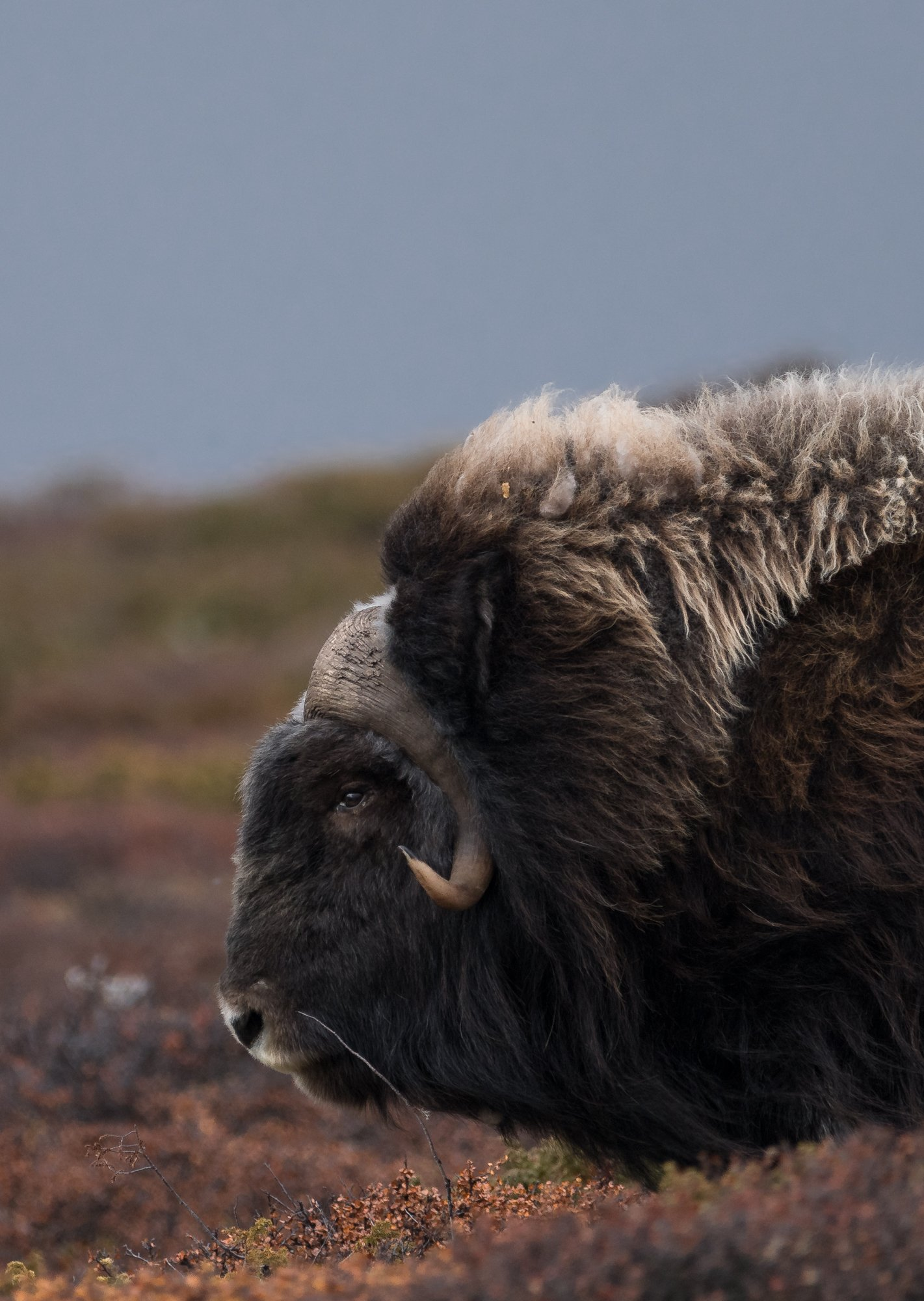 musk ox, animals, norway, dovre, landscape, autumn, Sylwia Grabinska