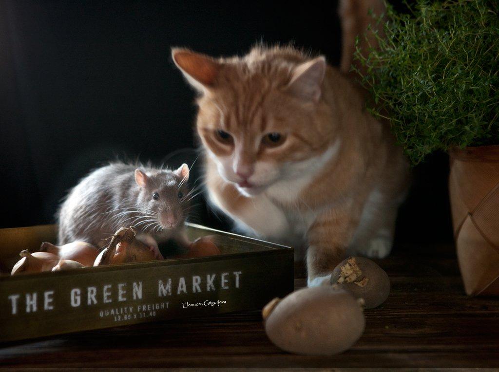 крыса, кошка, натюркотики, домашние животные, Eleonora Grigorjeva