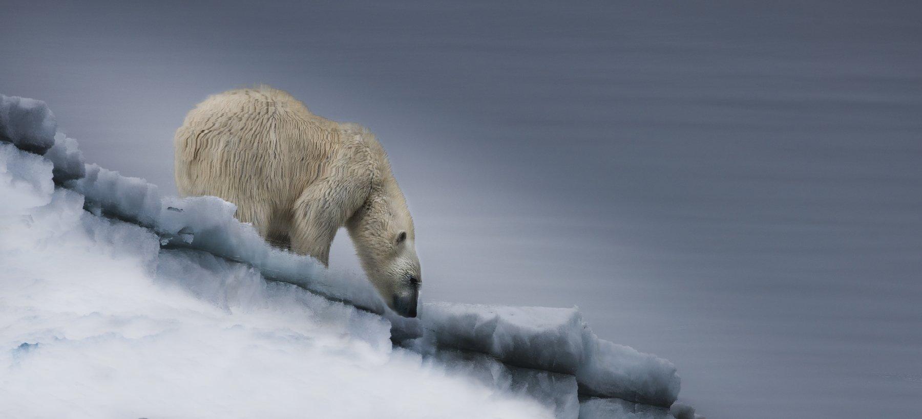белый, медведь., арктика, Руслан Елисеев