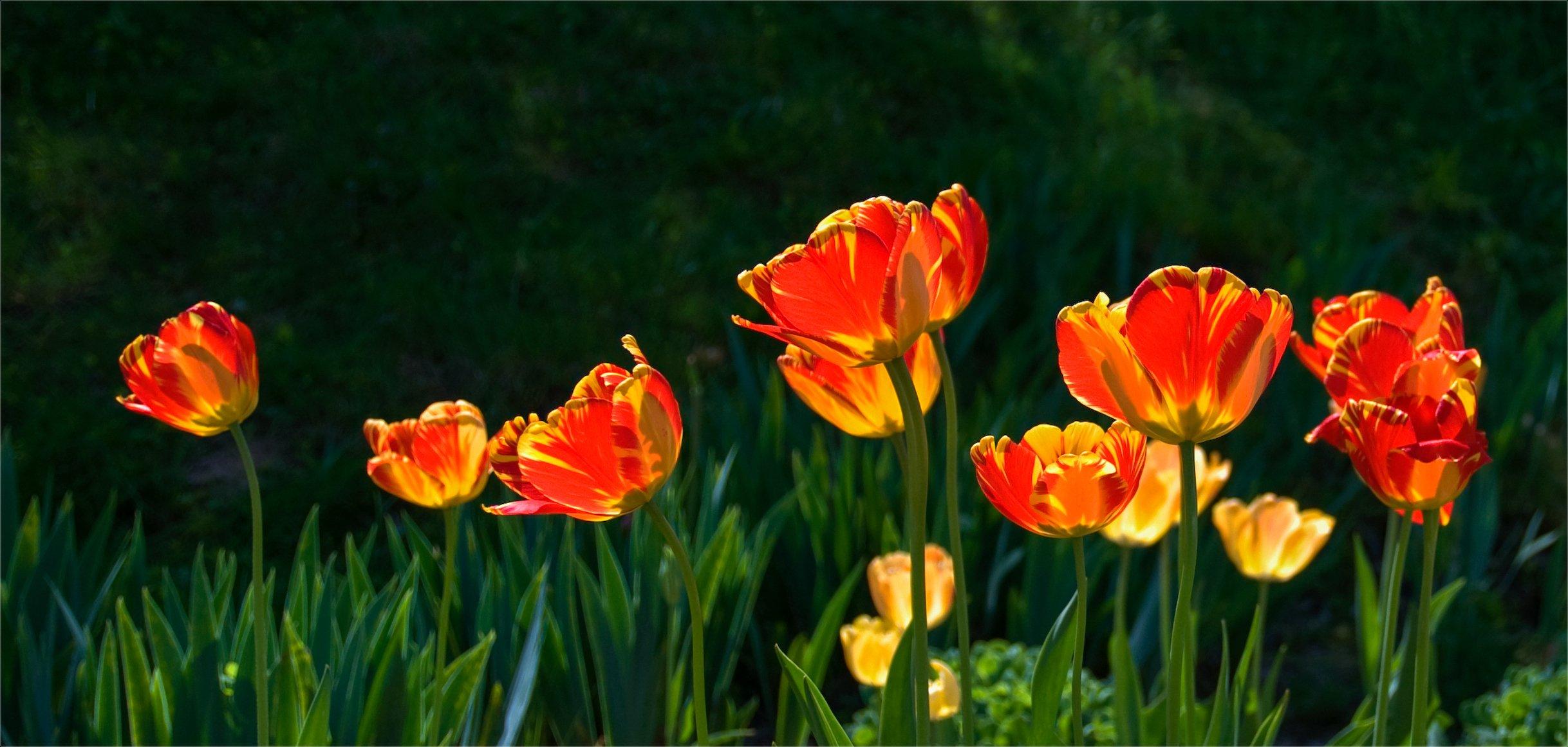 nature, природа,  растение, листья,, солнечный свет, цветы, цветок, макро, цвести,  весна, красота, тюльпаны, Михаил MSH