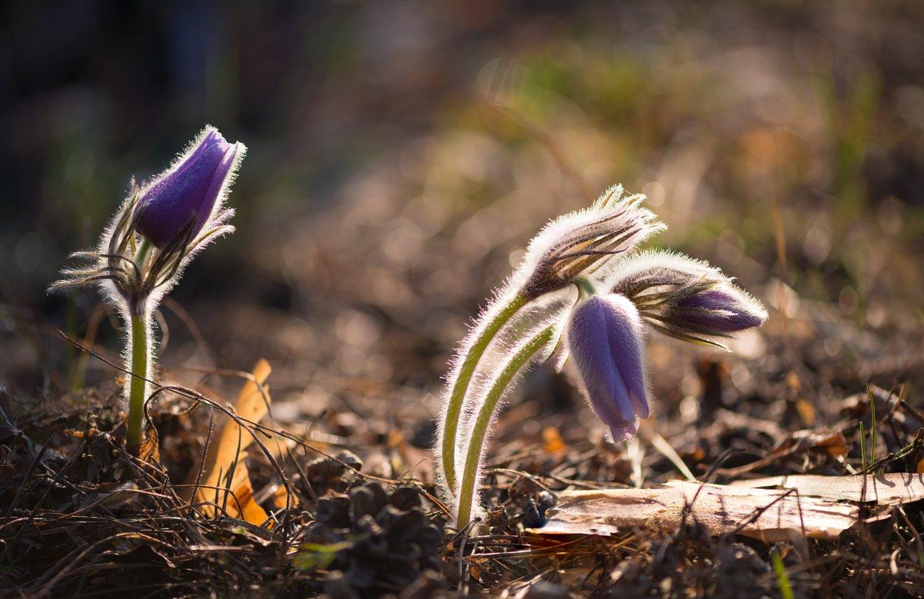 весна, апрель, сон-трава, цветы, Галанзовская Оксана