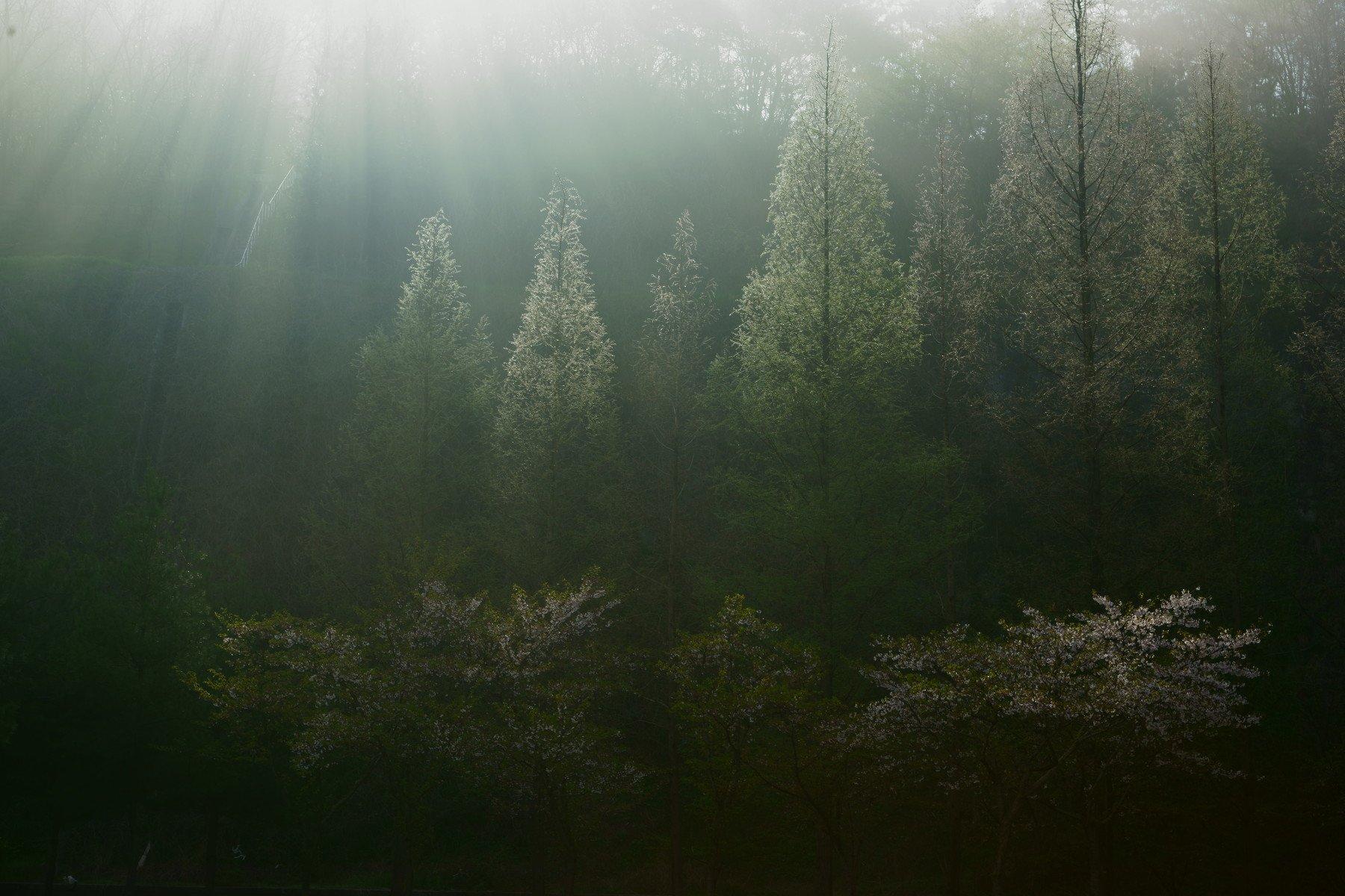 korea,spring,fog,sunlight,cherry blossom,, Shin