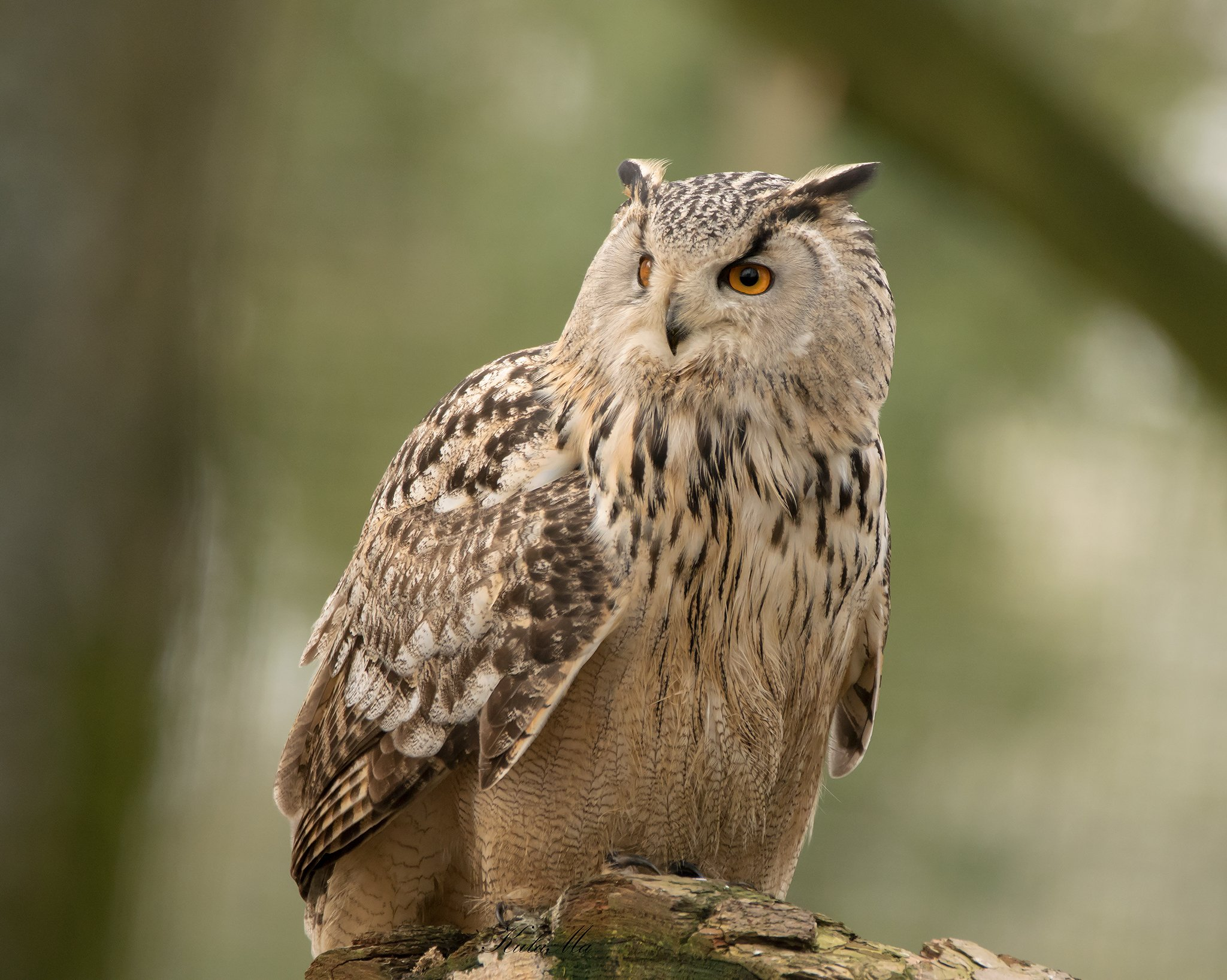 eagle owl, owl, birds of prey, birds, raptors, MARIA KULA