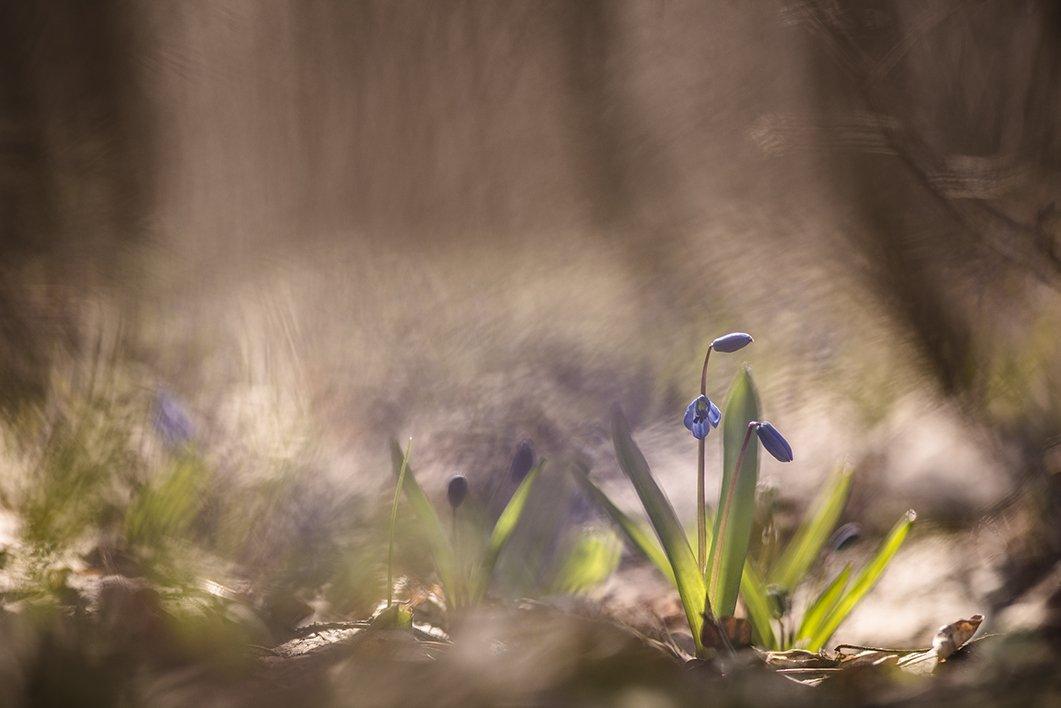 пролески, первоцветы, свет, цвет, апрель, весна, позитив, геннадий мещеряков, воронеж,, Геннадий Мещеряков
