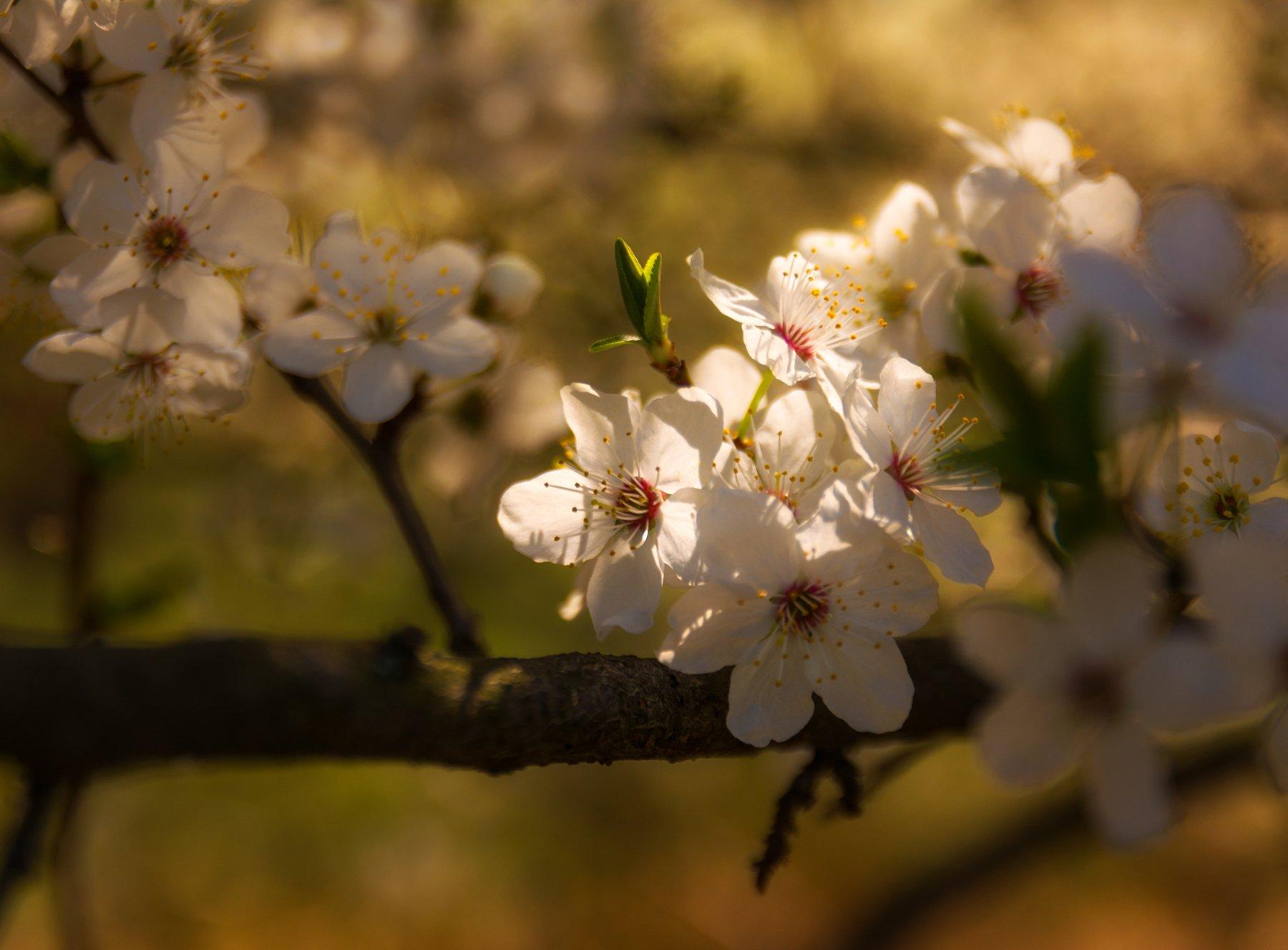 nature, природа,  растение, листья,, солнечный свет, цветы, цветок, макро, цвести,  весна, красота, яблоневый цвет, ветка, Михаил MSH