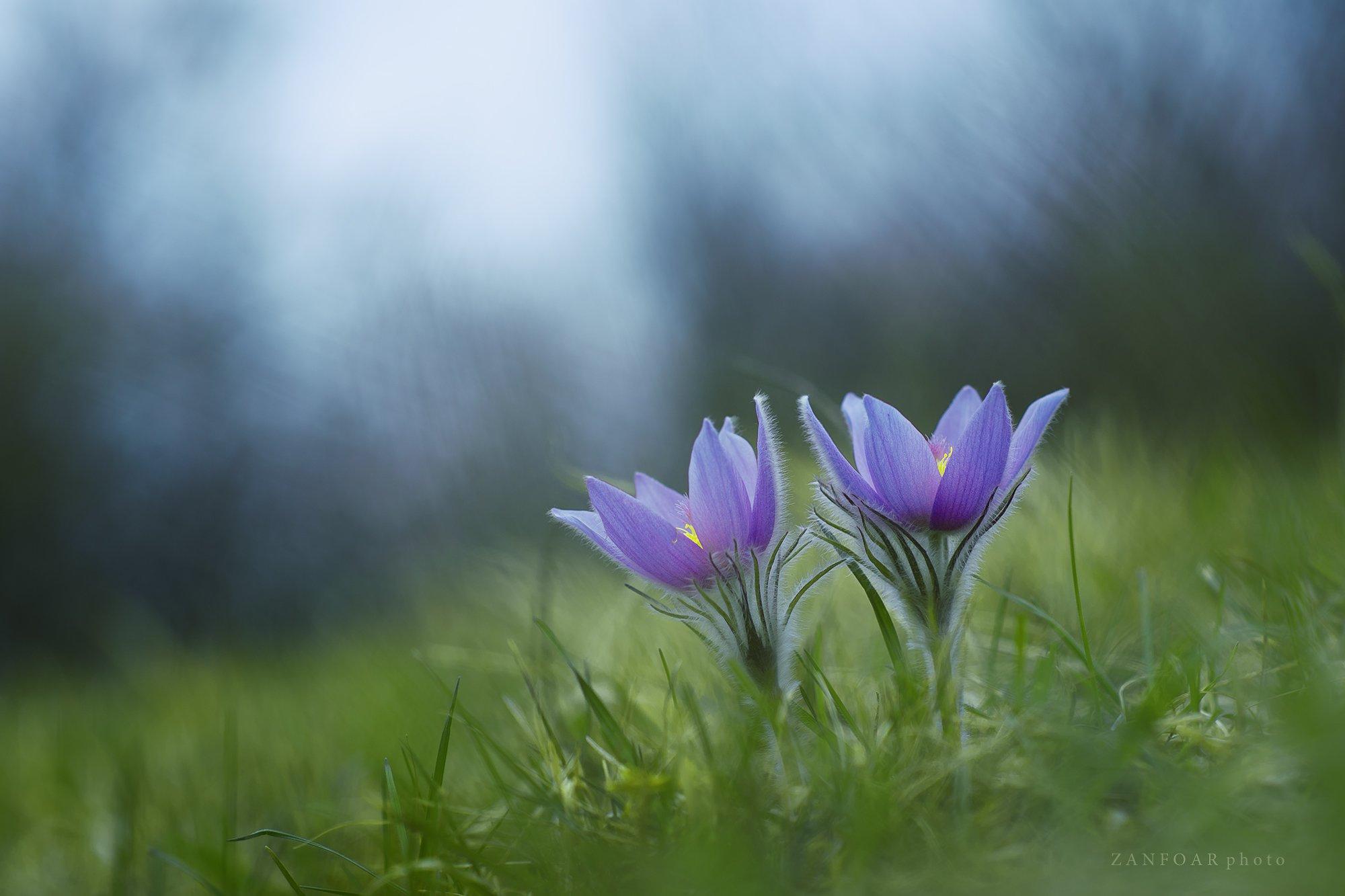 pulsatilla grandis,бархатный цветокзака,тпейзаж,природа,цвет,zanfoar,макро,чешская республика,czech republic,nikon d750,twin, Zanfoar