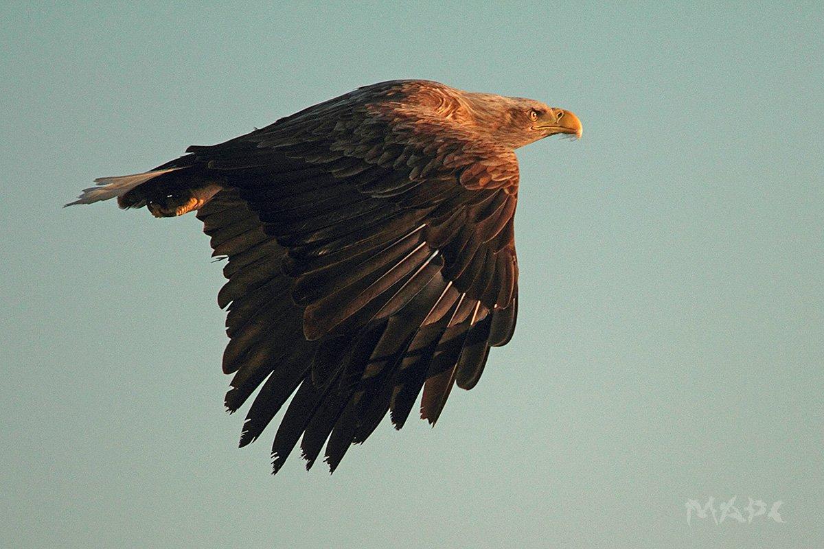 животные птицы  орлан белохвостый, Шангареев Марс