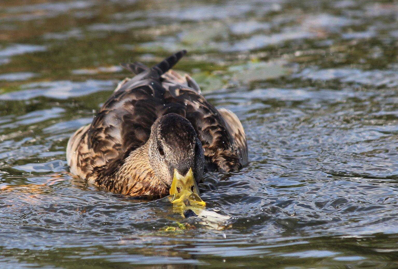 вода, утка, природа, Влада Андрюнина