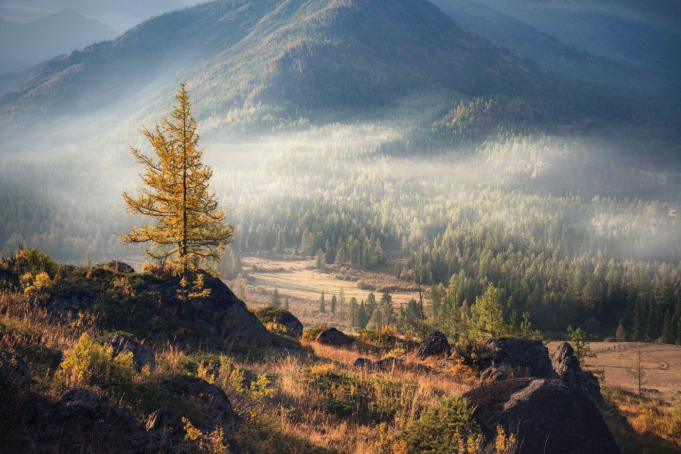 природа, пейзаж, горы, тайга, лес, дерево, камни, туман, дымка, утро, прохладное, раннее, большой, высокий, лиственница, высота, алтай, сибирь, Дмитрий Антипов