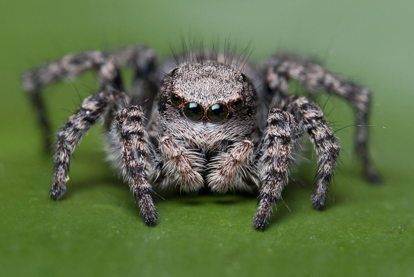 паук, макро, скакун, micro-nikkor af 105mm f/2.8 d, nikon d80, Александр Кириченко