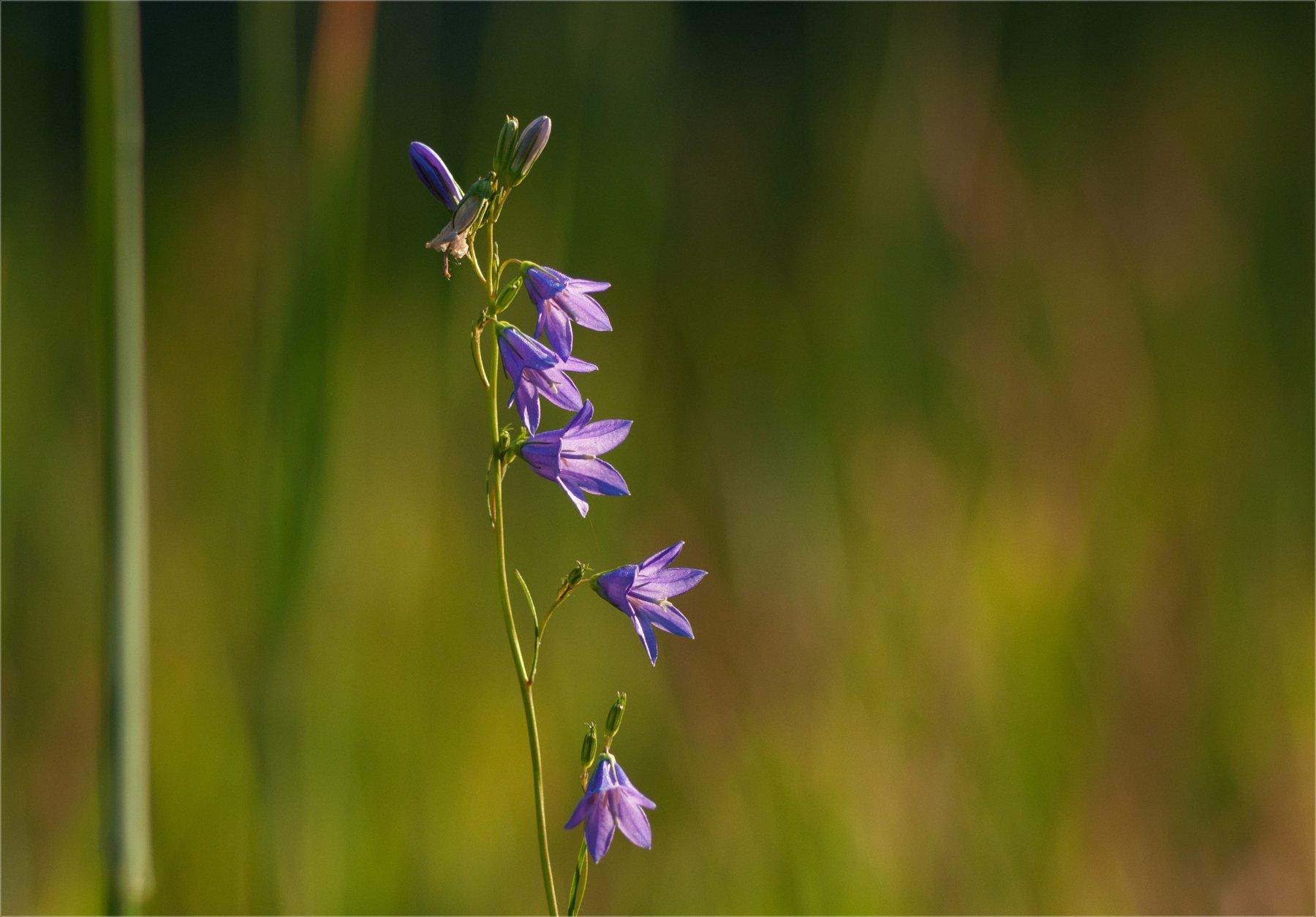 nature, природа,  растение, цветы, цветок, макро, цвести,  красота, колокольчики, минимализм, полевые цветы, луговые цветы, Михаил MSH
