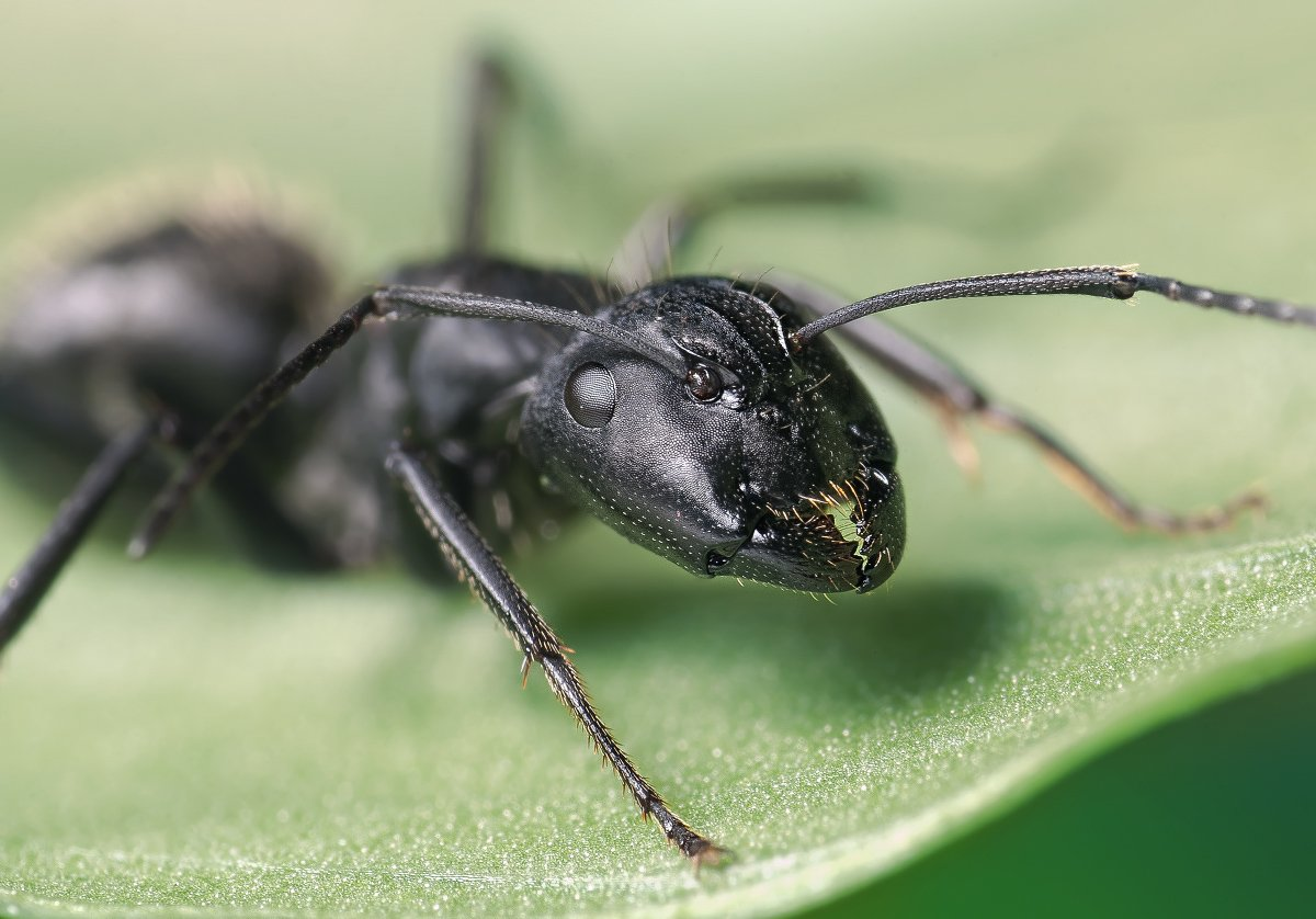 макро, муравей, портрет, micro-nikkor af 105mm f/2.8d,   nikon d80, Александр Кириченко