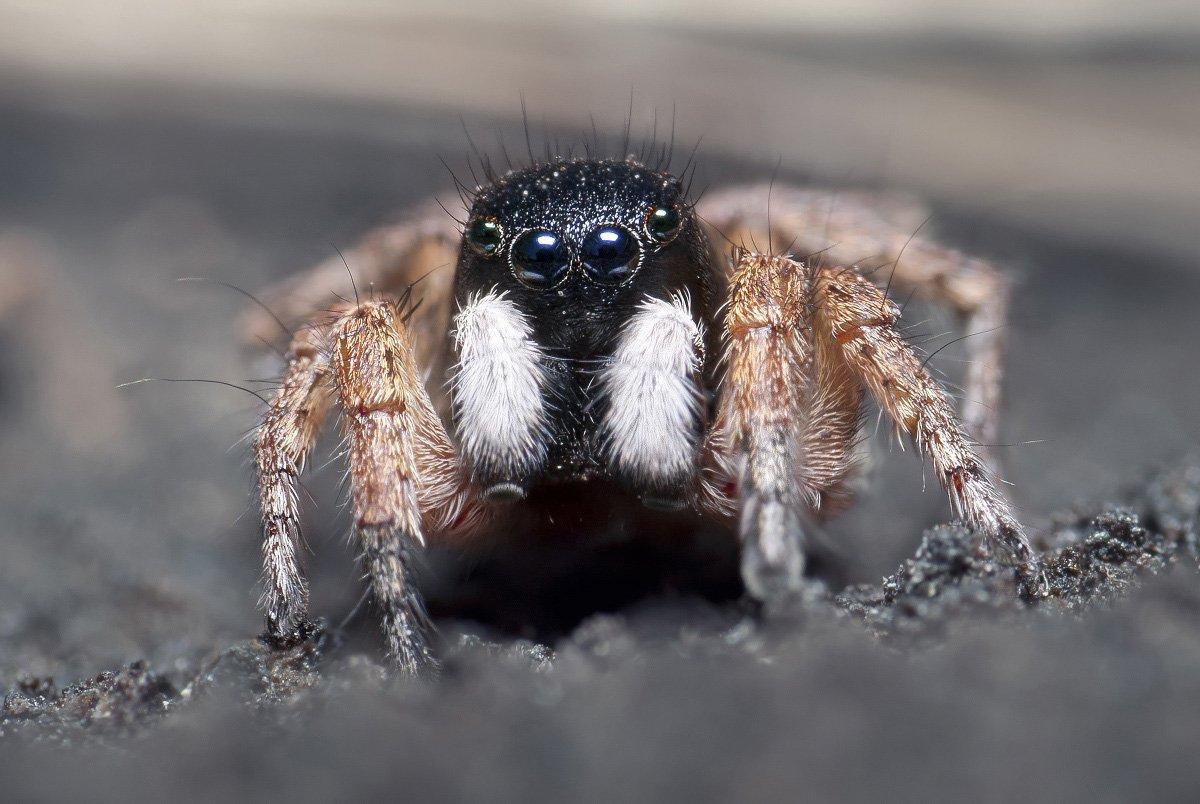паук, скакун, макро, micro-nikkor af 105mm f/2.8 d, nikon d80, Александр Кириченко