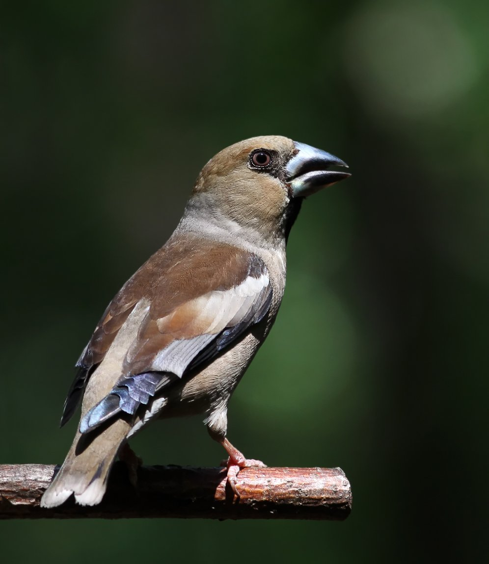 дубонос, птицы, животные, Зоя Лаптева