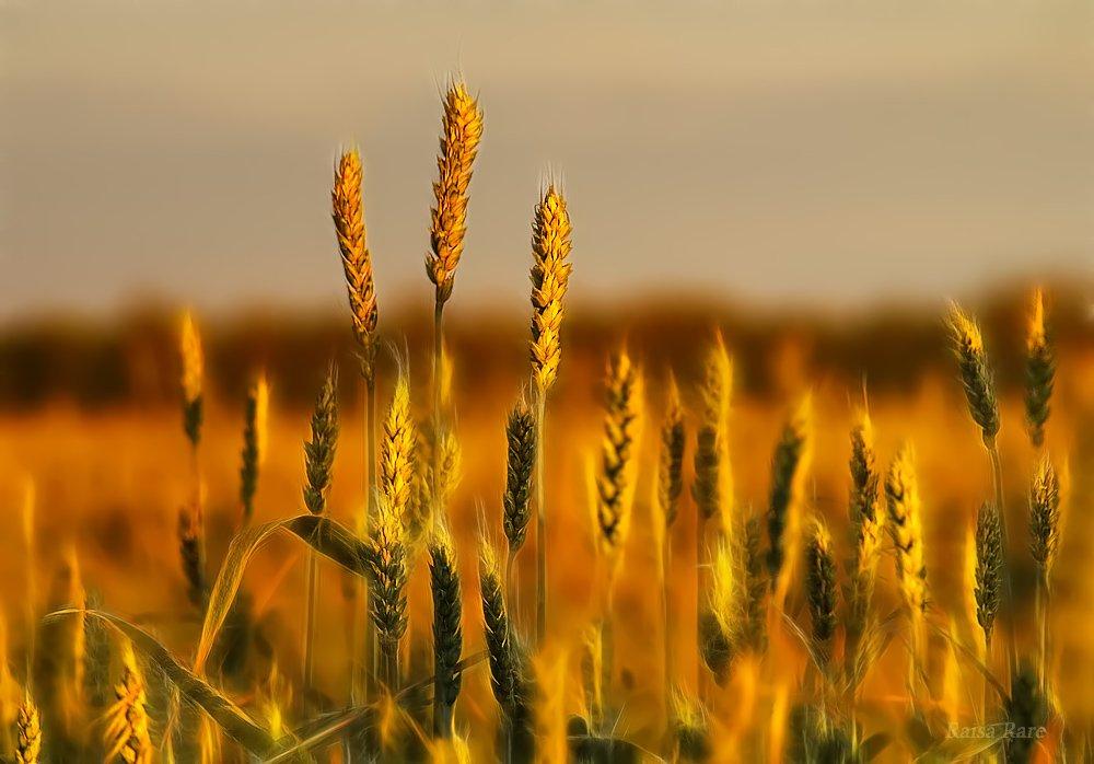 хлеб, колос, raisa rare, rare,  закат, поле, Раиса Rare