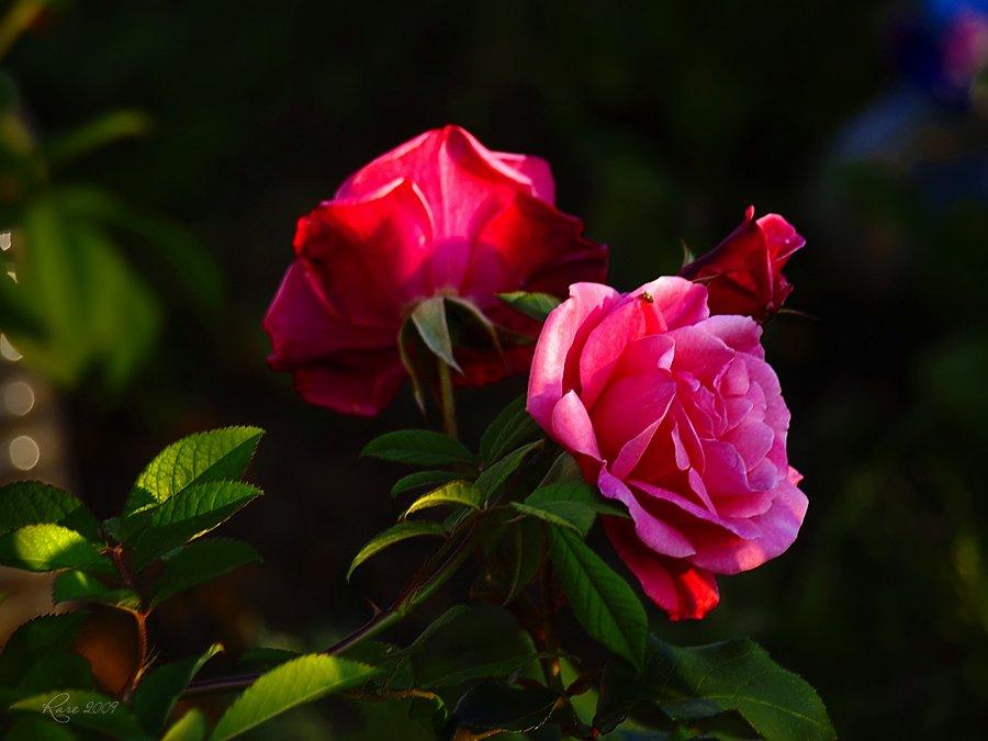 rare, raisa rare, розы, лето, розовые, Раиса Rare