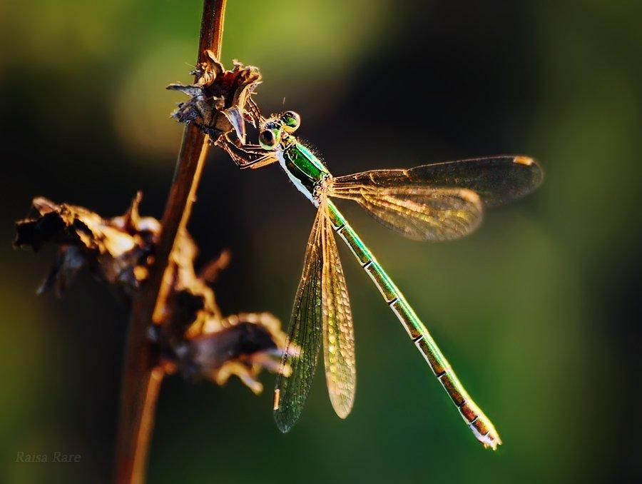 изумрудик, raisa rare, rare, стрекоза, насекомое, лето, зелёный,, Раиса Rare