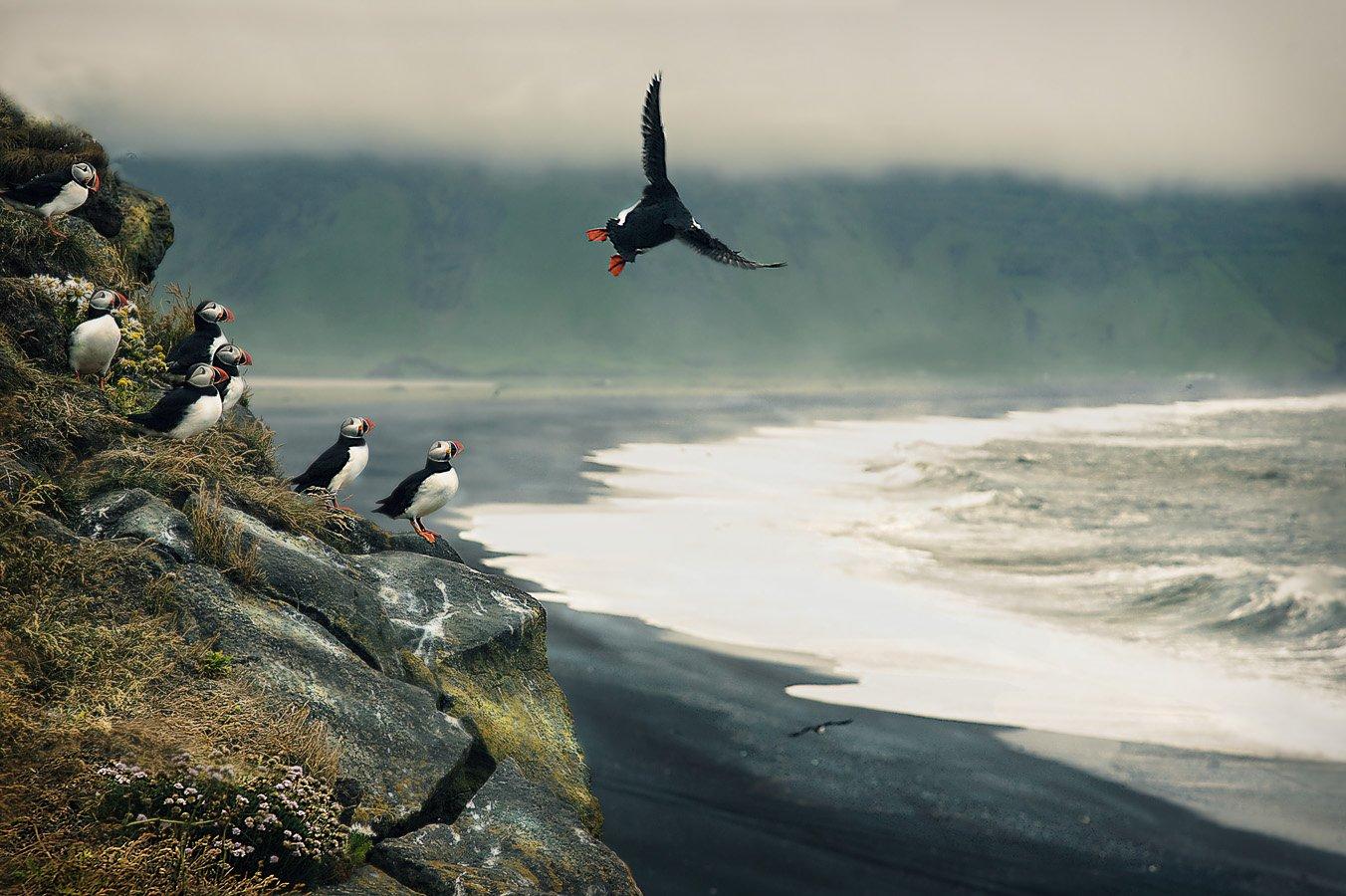 исландия, птицы, Пономарева Ирина