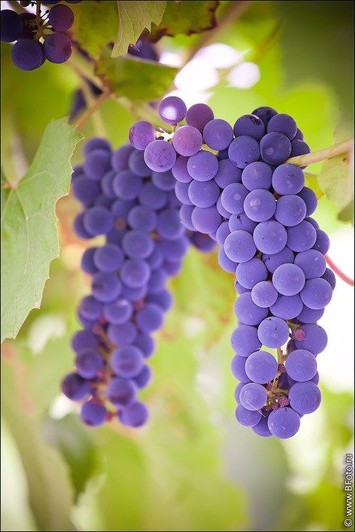 виноград, изабелла, Алексей Строганов www.BFoto.ru