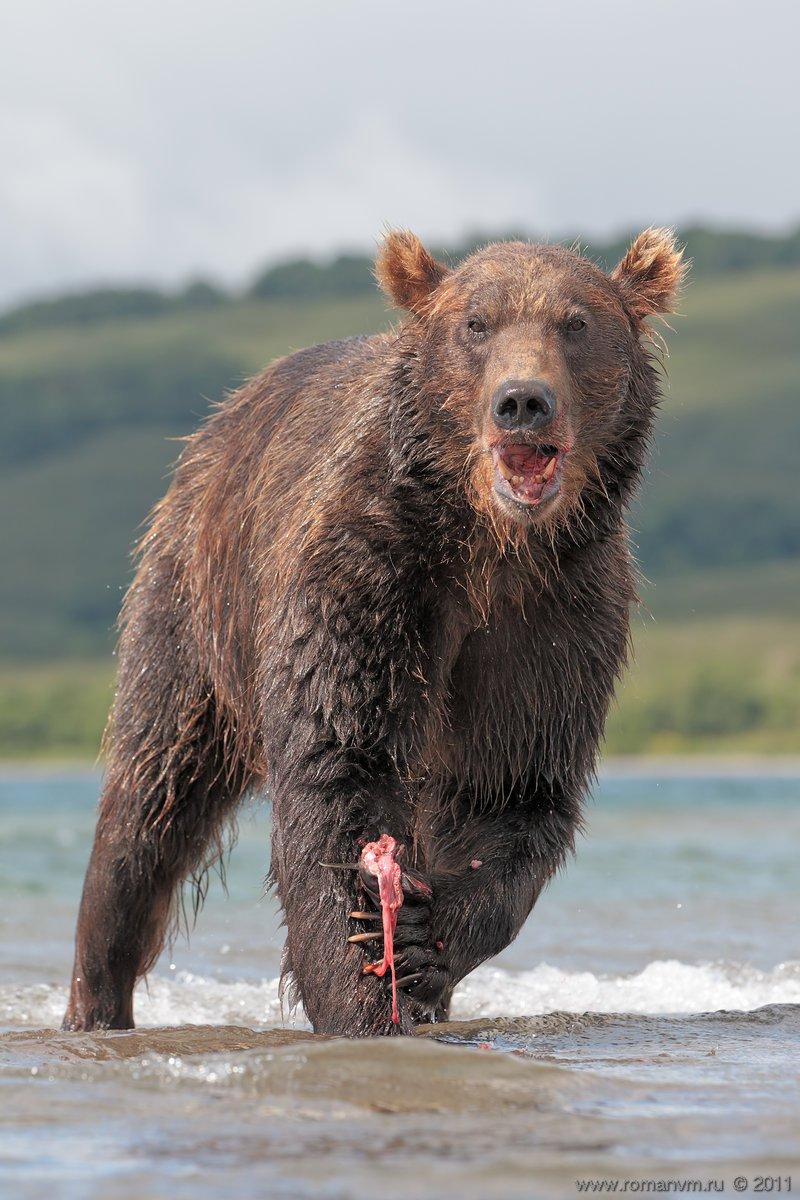 камчатка, медведь, озеро курильское, нерка, Роман Мурушкин