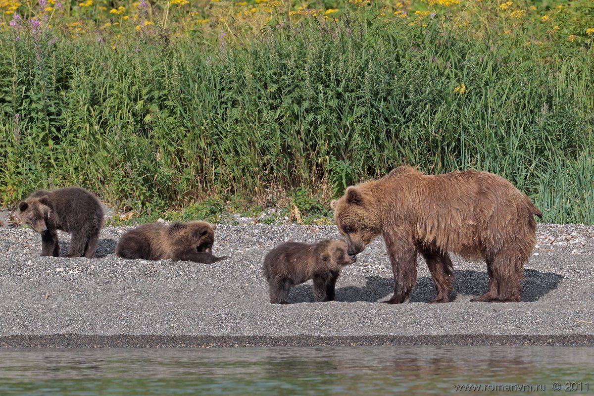 камчатка, медведь, озеро курильское, Роман Мурушкин