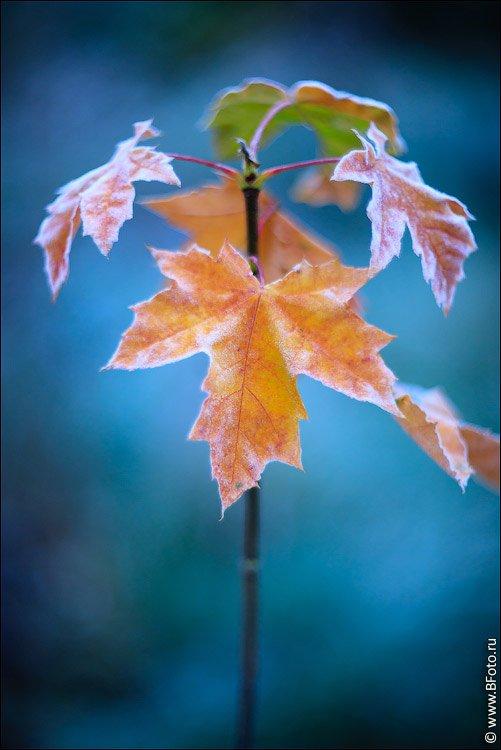 осень, листья, клен, фотограф Алексей Строганов www.BFoto.ru