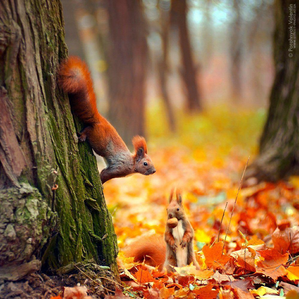 белка, две белки , белка с орешком, © Porohnyak Valentin