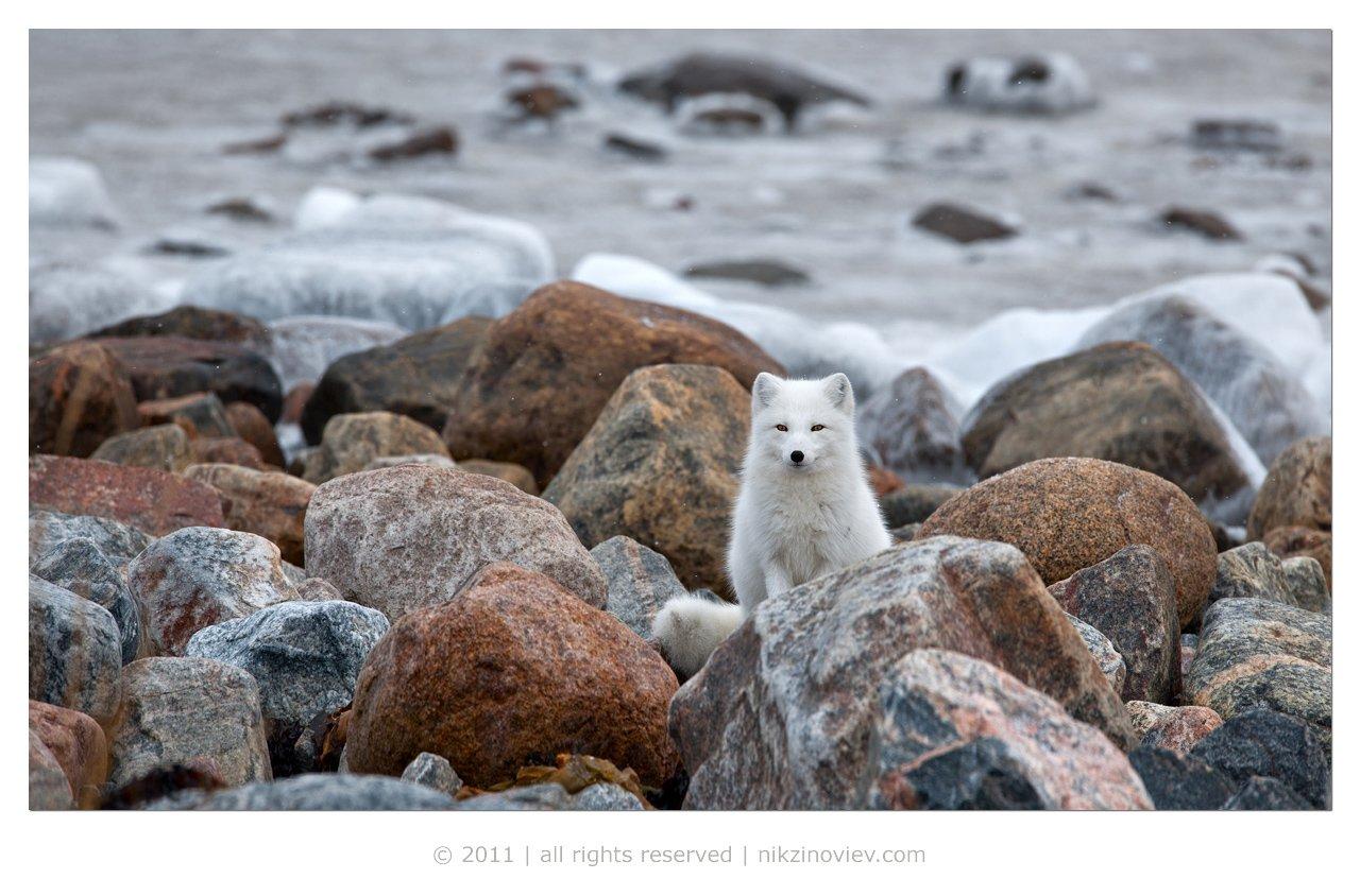 песец, arctic fox, дикая природа, животные, канада, николай зиновьев, Николай Зиновьев