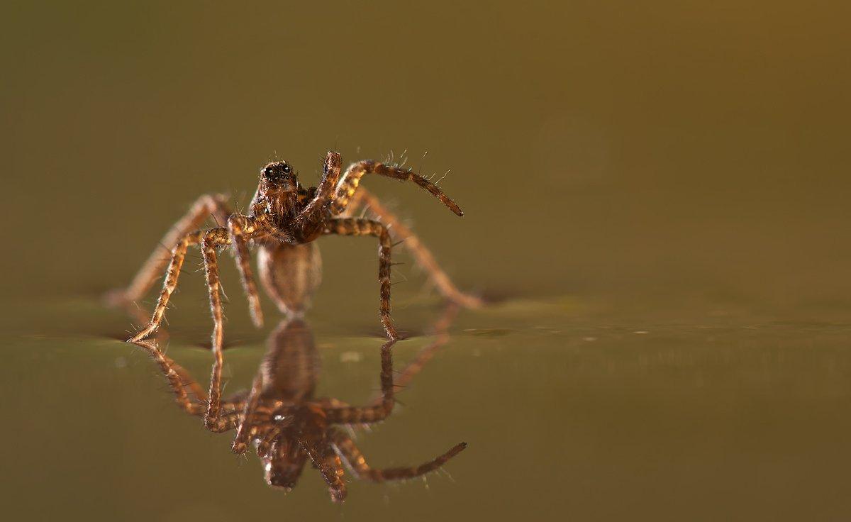 паук, вода, макро, irina