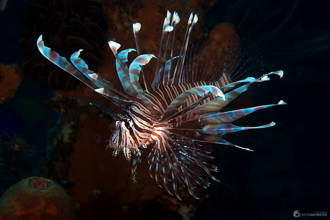 underwater, bali, lion, fish, Anton Akhmatov