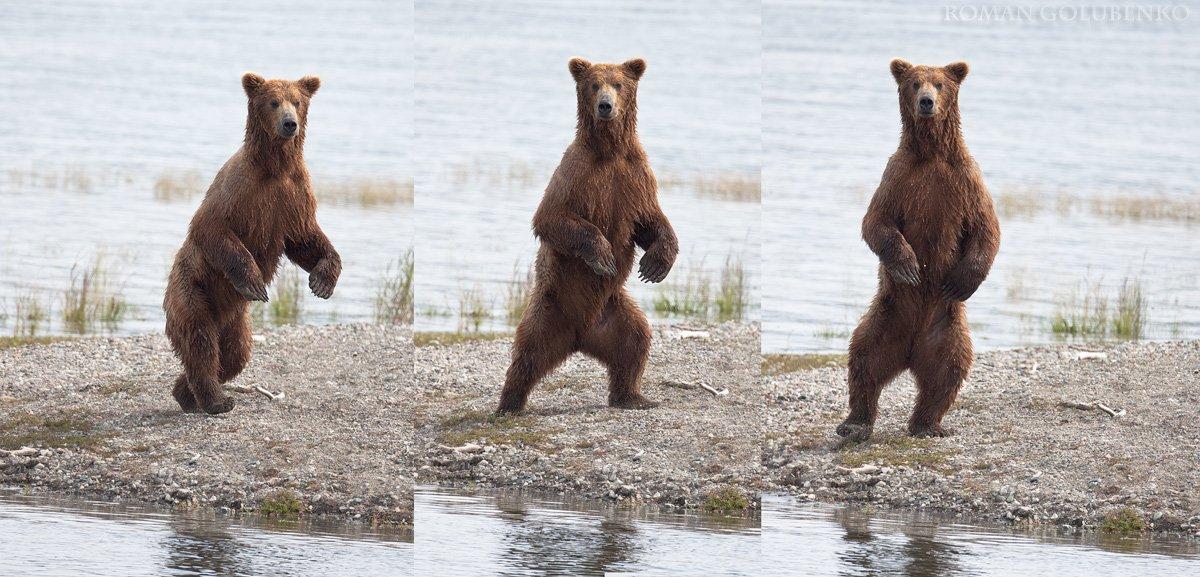 roman, golubenko, grizzly, bear, alaska, Roman Golubenko