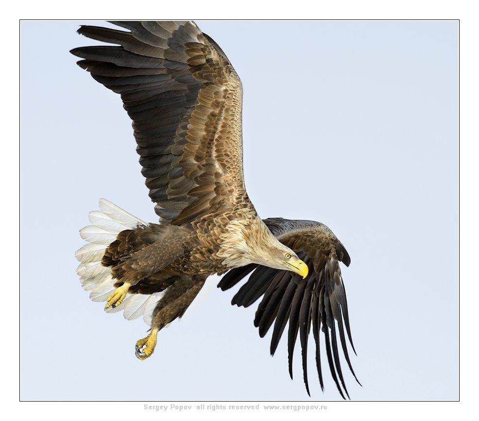 белохвостый орлан, дикая природа,, Попов Сергей